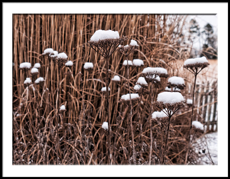 Yarrow with Snow