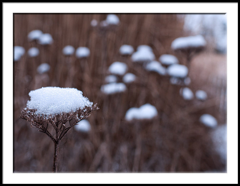 Single Yarrow with Cold Snow
