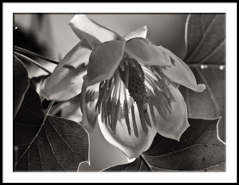 Backlit Tulip Poplar Bloom