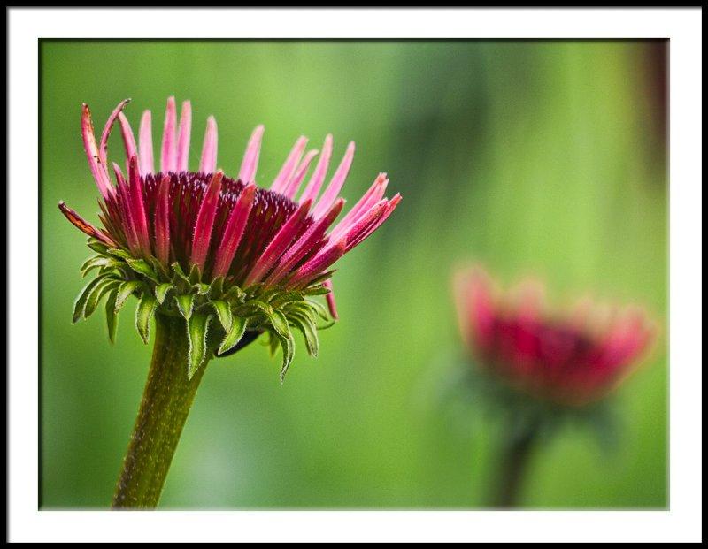 Echinacea Opening