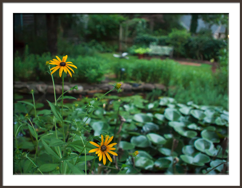 Black Eyed Susan at Pond