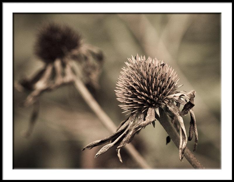 Last Fling-Echinacea