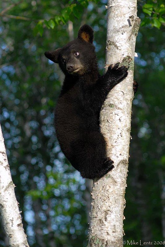 Black bear cub up tree