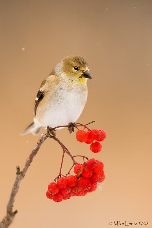 Goldfinch on berries