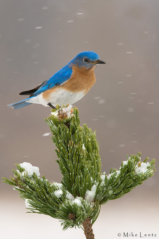 Bluebird on Bristlecone
