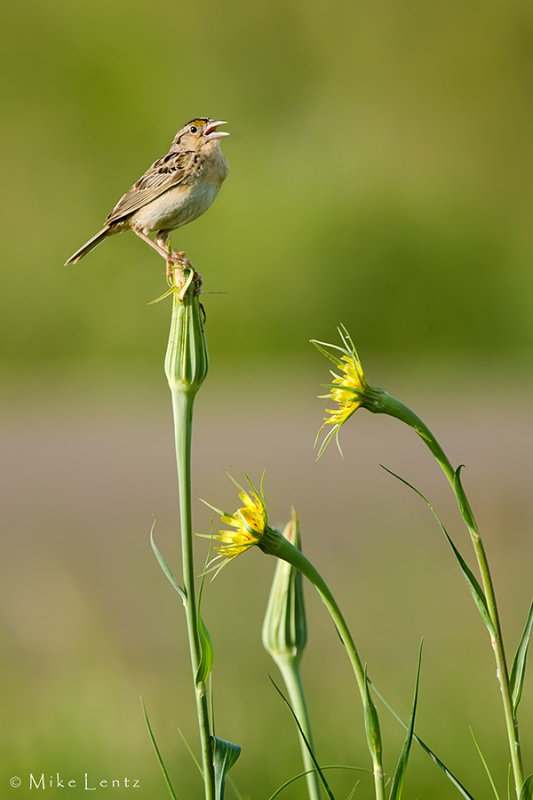 Grasshopper Sparrow in habitat