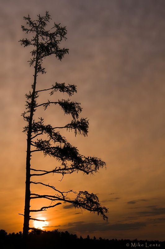 Tamarack tree at sunrise