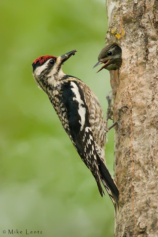 Yellow Bellied sapsucker feeds baby
