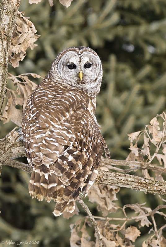 Barred owl looking back
