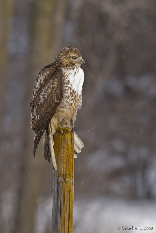 Redtail on perch during a light snowfall