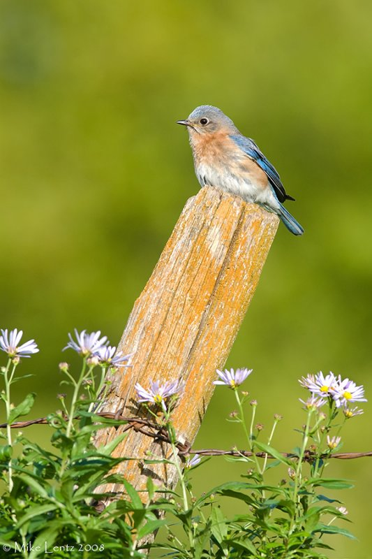 Bluebird beauty on post with flowers