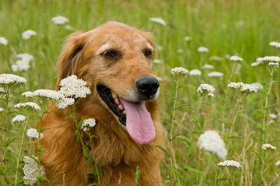 Bailey in prairie flowers