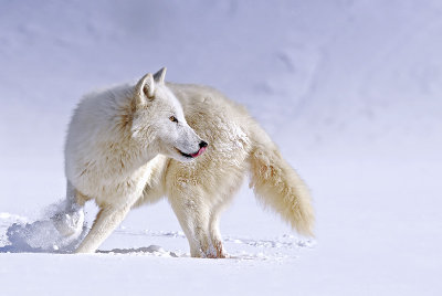 Arctic Wolf About Face