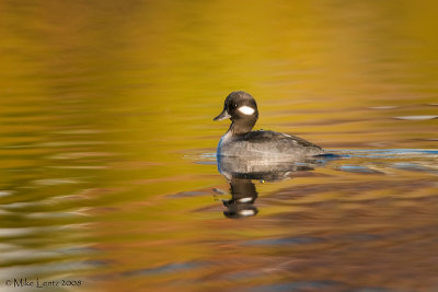 Bufflehead female in autumn colored waters