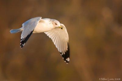 Ring billed gull in sweet light