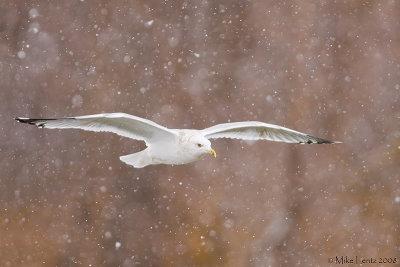 Herring Gull (winter plummage)