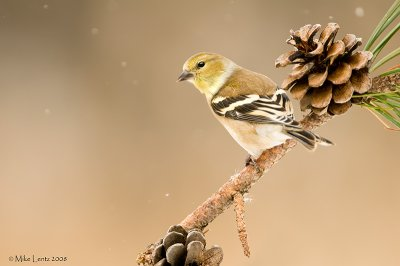 Goldfinch on pine tree