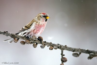 Common Redpoll on seed pods