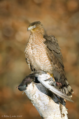 Coopers Hawk on Pigeon