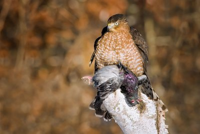 Coopers Hawk over pigeon