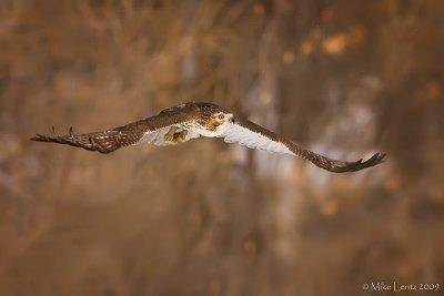 Redtail Hawk over prairie