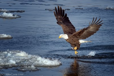 Bald Eagle one foot fish snatch