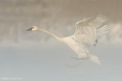 Trumpeter landing in fog