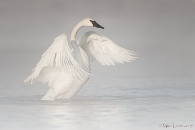 Trumpeter Swan (steamy starts)