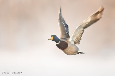 Mallard drake bursts through the fog