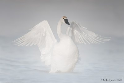 Trumpeter swan angelic pose