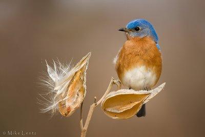 Bluebird (male) on milkweed