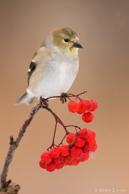 Goldfinch perched on berries