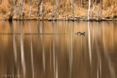 Hooded mergansers on reflection pond