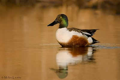 Northern Shoveler on Golden waters