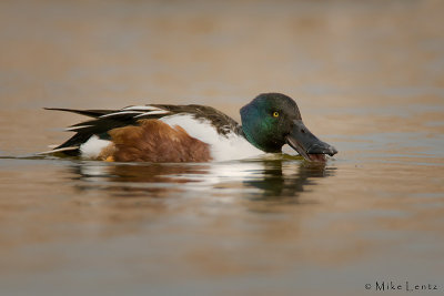 Northern Shoveler spooning water