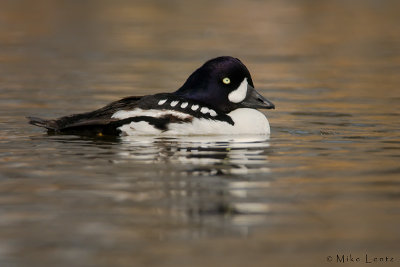 Barrows Goldeneye