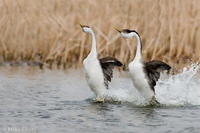 Western Grebes (rushing)