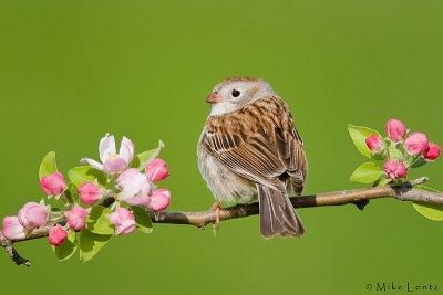 Field Sparrow on bloom