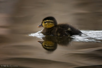 Wood duck baby heading out