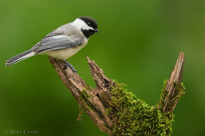 Black Capped chickadee on moss perch