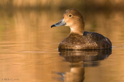 Redhead hen on calm waters