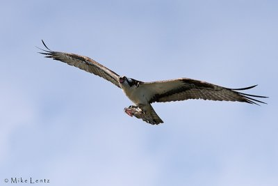 Osprey with crappie