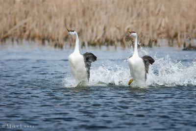 Western Grebe pair rushing