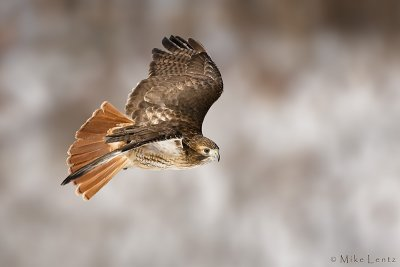 Redtailed Hawk banking