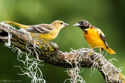 Baltimore Oriole siblings