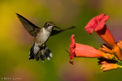 Ruby Throated Hummingbird (Juvenile male)