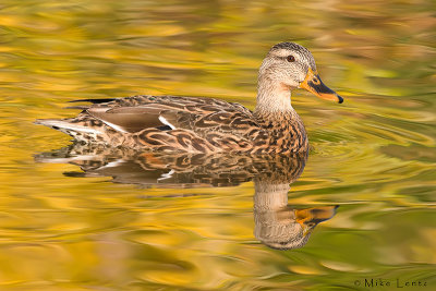 Mallard (hen) in golden autumn waters
