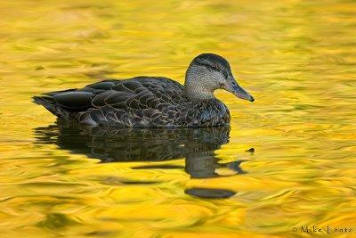Black Duck (Autumn scene)