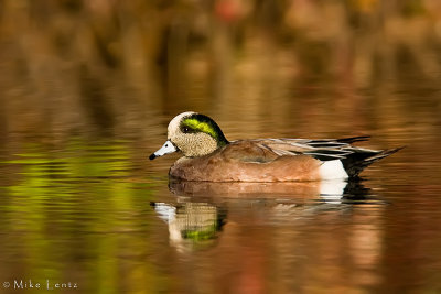 American Wigeon on fall pond