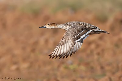 Pintail hen in flight